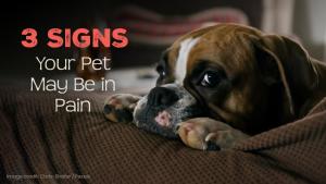 Animal Pain
